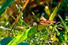 Monarch Butterfly-08-09-01a