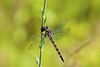 Dragonfly at Great Bay National Wildlife Refuge