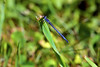 Bluet Damsel at Bellamy River Wildlife Management Area