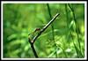Dragonfly-05-31-01acr