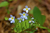 Bluets at Bellamy River Wildlife Sanctuary