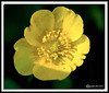 Buttercup at Bellamy River Wildlife Management Area