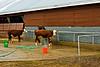 Cow at Fryeburg Fair