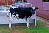 Calf at Fryeburg Fair