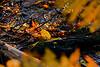 Autumn Leaf at Great Bay National Wildlife Refuge