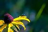 Dogbane Leaf Beetle-08-09-02