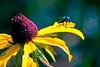 Dogbane Leaf Beetle-08-09-02a