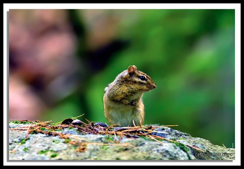 Chipmunk-06-13-01acr