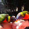 Lorikeets!  One of the cutest birds, and they are usually very sweet.  They love this nectar!  This is at Busch Gardens, October 9, 2011.