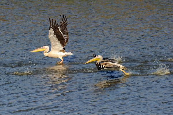 Pelicans 19/10/2011