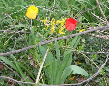 Flowers, Dutch Hill, Tamaqua (4-26-2011)