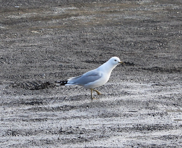 Seagulls in Eastern Schuylkill county, Schuylkill Haven (2-20-2011)