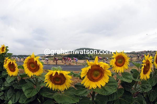 Bedraggled sunflowers are witness to a speeding peloton...
