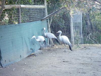 Blue Cranes at World of Birds - South Africa's National Bird