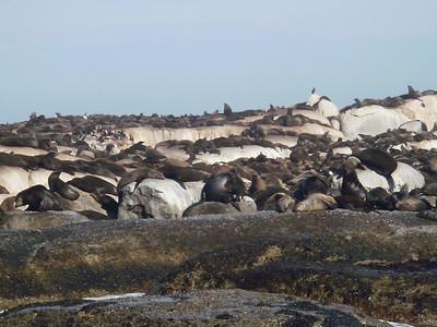 Seal at Hout Bay
