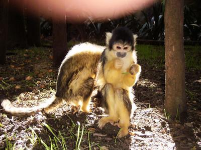 Squirrel Monkeys at at World of Birds