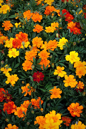 20/52 - Saw these marigolds at Home Depot and thought they looked so nice that I needed to take a picture of them. I really liked the color combination.
