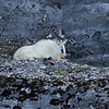 Mountain Goat Glacier Bay NP-4511.jpg