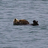 Alaska Otter and Pup Glacier Bay-4232.jpg