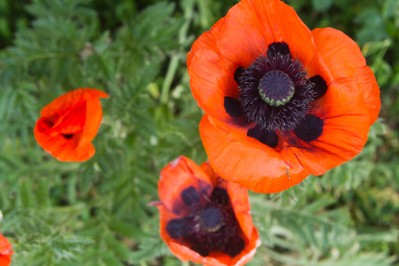 Stunning poppies in our new yard