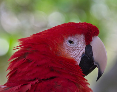 Red parrot -742