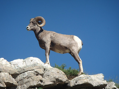 2012 Dec - Bighorn Sheep - Jere Mammino, DO