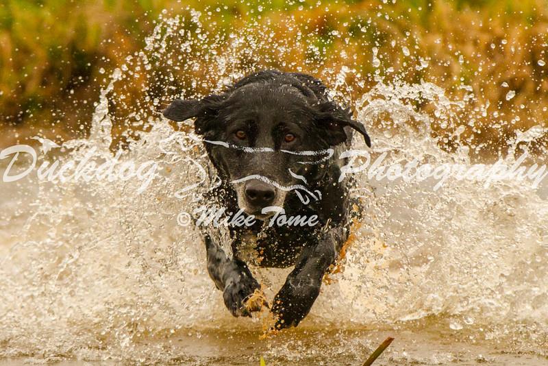 IMAGE: http://duckdogphotography.smugmug.com/2012-NAHRA-Hunt-Test-Dogs/Raider/i-56RDcDs/0/L/IMG_6657%2010-31-13%20raider-L.jpg