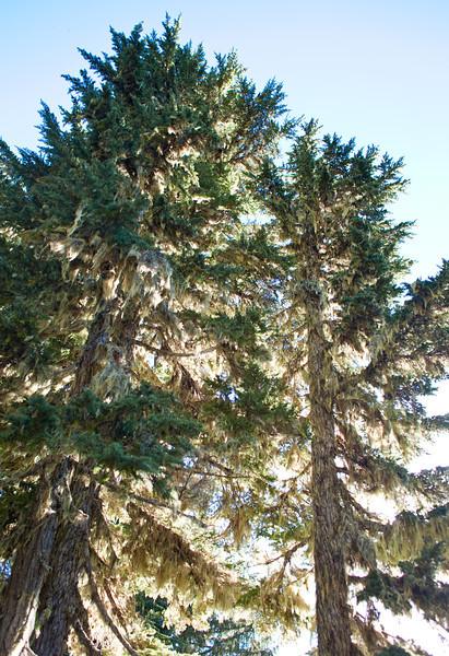 Hoh Lake Trees