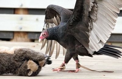 IMG_2951 turkey vulture with dead (toy) raccoon