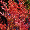 Heavenly Bamboo - Nandina