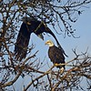 Diving, Bald Eagles