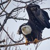 Folding the Wings, Bald Eagle