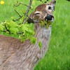 Winking Whitetail Deer