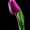 20120114 Tulip