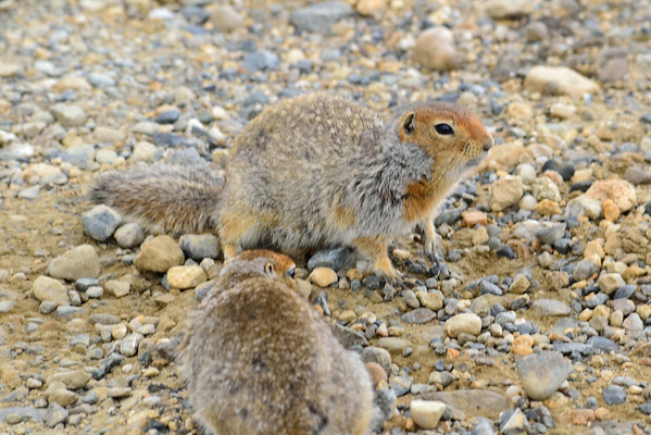 Arctic ground squirrels are turned efficiently into energy by Denali National Park predators.