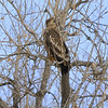 A chilly day after a light snow in late fall at Cherry Creek State Park, CO.  A juvenile bald eagle perches in a cottonwood tree.