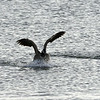 A chilly day after a light snow in late fall at Cherry Creek State Park, CO.  A Canadian Goose comes in for an early evening landing on Cherry Creek reservoir.