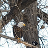 A chilly day after a light snow in late fall at Cherry Creek State Park, CO.  This was funny.  A lone magpie decided that it would be a good idea to perch alongside a bald eagle in a cottonwood tree.  The eagle did not seem pleased.