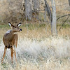 A doe poses for me at Cherry Creek State Park.