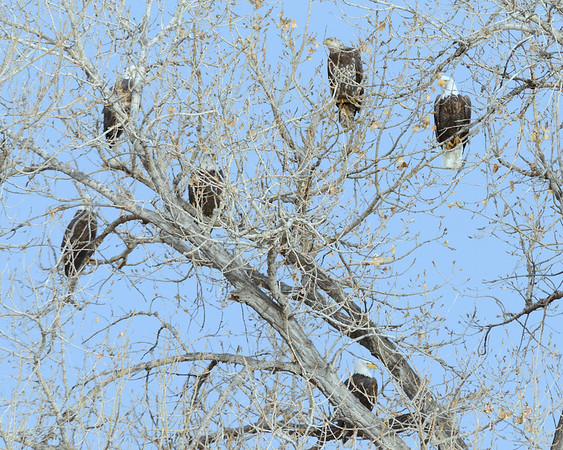 Bald Eagles galore!  What a wonderful day at Cherry Creek State Park!