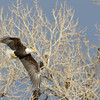 A bald eagle flies in front of an audience of its peers.