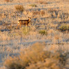 Young buck amid grasslands at sunset at Cherry Creek State Park.