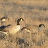 A gaggle of Canadian Geese feasts at Cherry Creek State Park, CO in late fall.