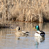 A male and a female mallard duck float lazily on a pond in Cherry Creek State Park in the fall.