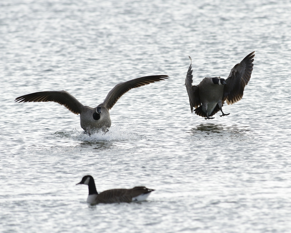 A chilly day after a light snow in late fall at Cherry Creek State Park, CO.  Some Canadian Geese come in for an early evening landing on Cherry Creek reservoir.