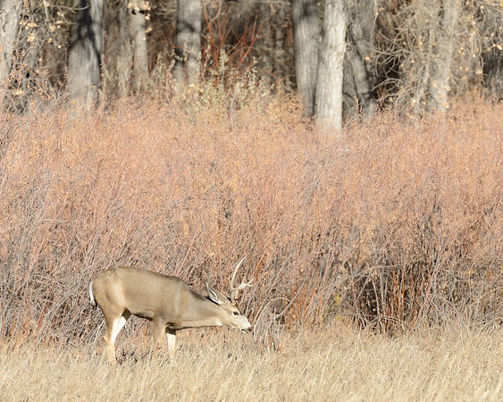 Buck grazing in grasslands near a grove of trees in the fall at Cherry Creek State Park.