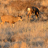 A buck and doe graze at sunset at Cherry Creek State Park.