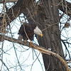 """A chilly day after a light snow in late fall at Cherry Creek State Park, CO.  The magpie started squawking which seemed to annoy the bald eagle.  The eagle seemed to say, """"You best be leaving here or else you are getting the beak!""""  The magpie promptly left the scene."""