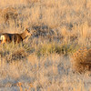 A young buck moves through grasslands at sunset at Cherry Creek State Park.