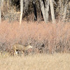 A buck moves to another spot while grazing at Cherry Creek State Park in fall.  I noticed he was limping while he walked.